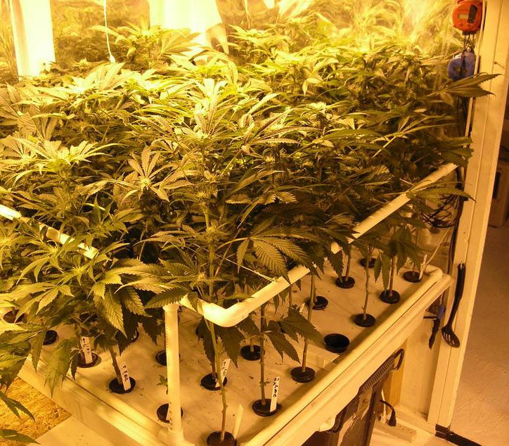 Как выращивать марихуану гидропоника вонючий сорт конопли