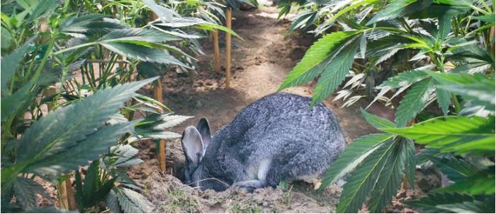 животные едят коноплю, животные и конопля, конопля и животные, какое животное ест коноплю, едят ли коноплю животные, безопасность урожая, безопасность выращивания конопли, выращивание конопли, поле конопли, посевы конопли, посевы марихуаны, сохранить урожай каннабиса,