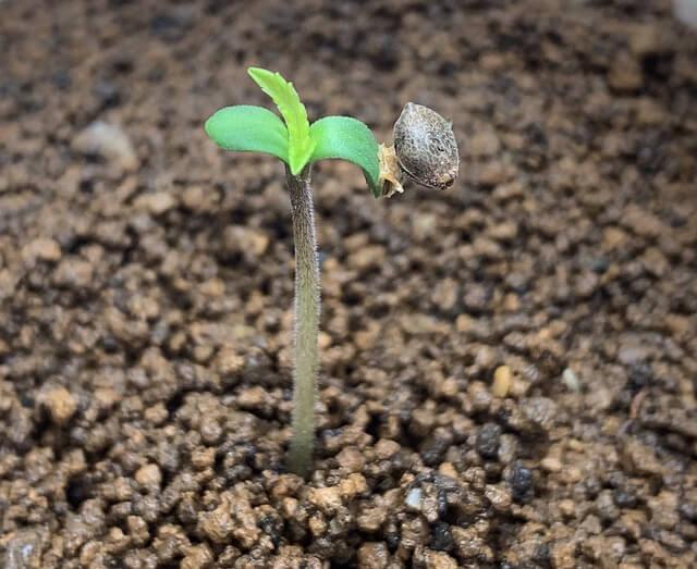 как ускорить рост конопли?